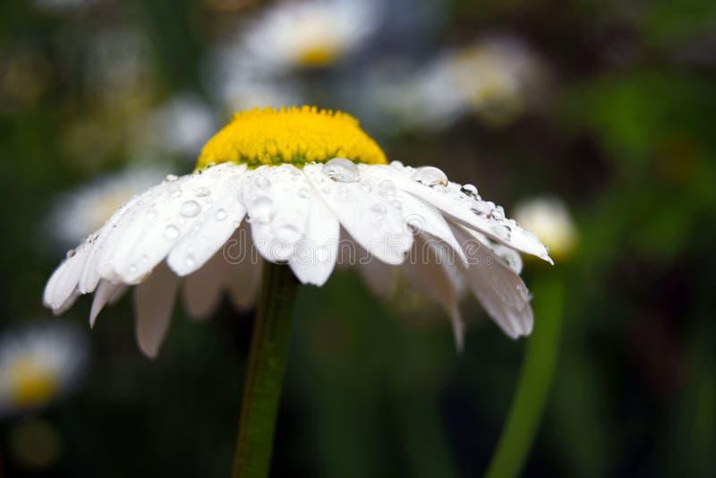 Άσπρο camomile με τις πτώσεις βροχής στοκ φωτογραφία