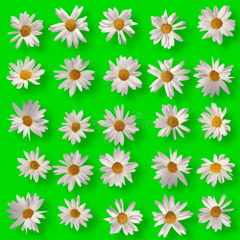 Άσπρο camomile στο πράσινο υπόβαθρο στοκ εικόνα
