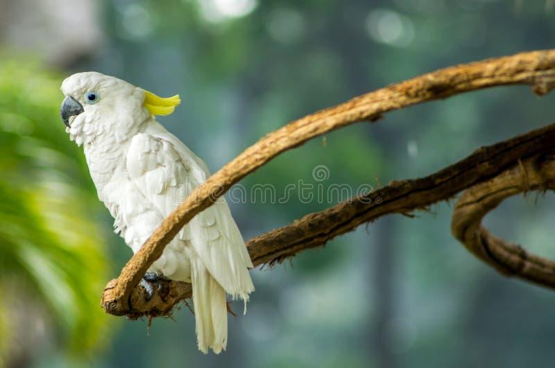 Άσπρο cockatoo σε έναν κλάδο στοκ φωτογραφία με δικαίωμα ελεύθερης χρήσης