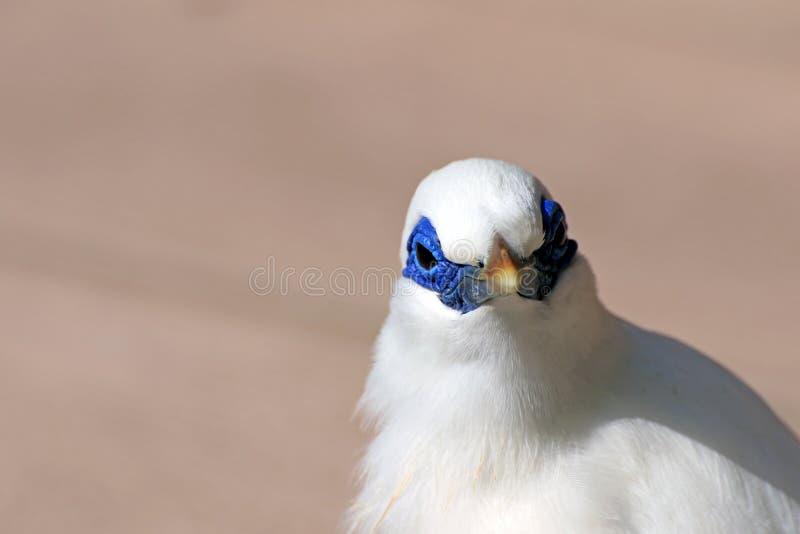 Άσπρο cristatellus στοκ φωτογραφία με δικαίωμα ελεύθερης χρήσης