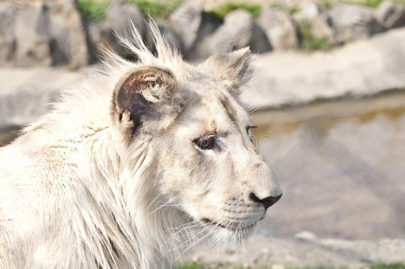 Άσπρο cub λιονταριών στοκ εικόνα