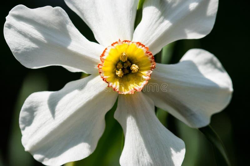 Άσπρο Daffodil που ανθίζει στον κήπο στοκ φωτογραφία
