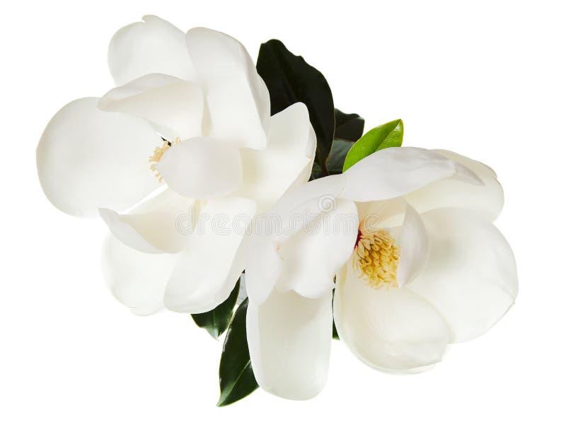 Άσπρο Floral δέντρο Magnolias λουλουδιών Magnolia στοκ φωτογραφία με δικαίωμα ελεύθερης χρήσης
