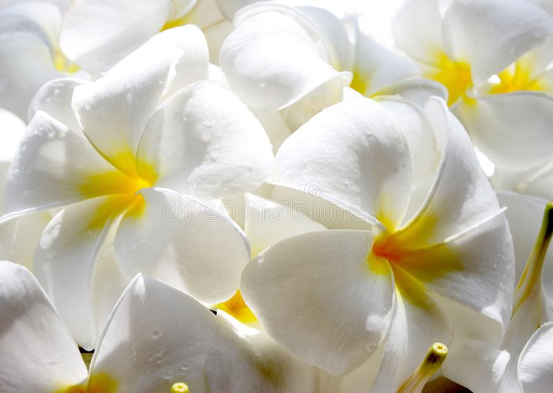 Άσπρο frangipani με το λουλούδι plumeria σταγονίδιων στοκ φωτογραφία με δικαίωμα ελεύθερης χρήσης