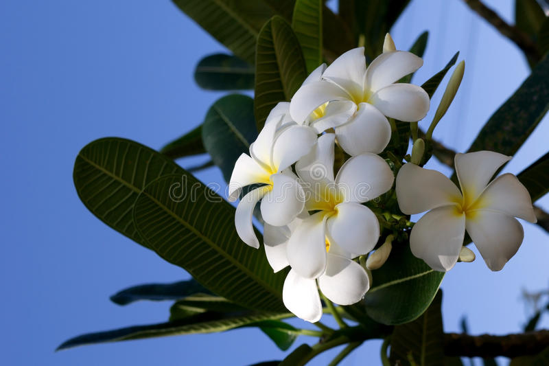 Άσπρο frangipani Plumeria ενάντια στο μπλε ουρανό στοκ φωτογραφία με δικαίωμα ελεύθερης χρήσης
