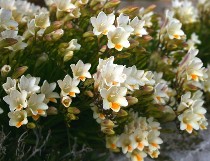 Άσπρο freesia σε έναν κήπο στοκ εικόνα με δικαίωμα ελεύθερης χρήσης