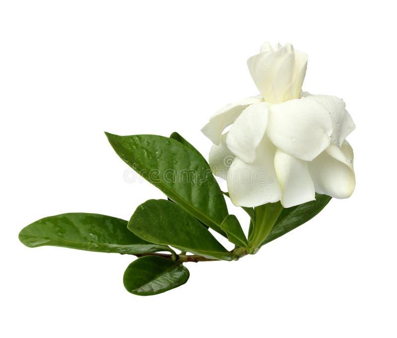 Άσπρο Gardenia στο λευκό στοκ φωτογραφία με δικαίωμα ελεύθερης χρήσης