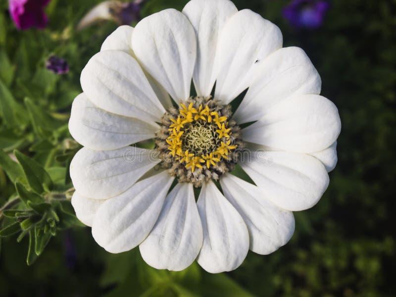 Άσπρο gerbera στοκ εικόνα