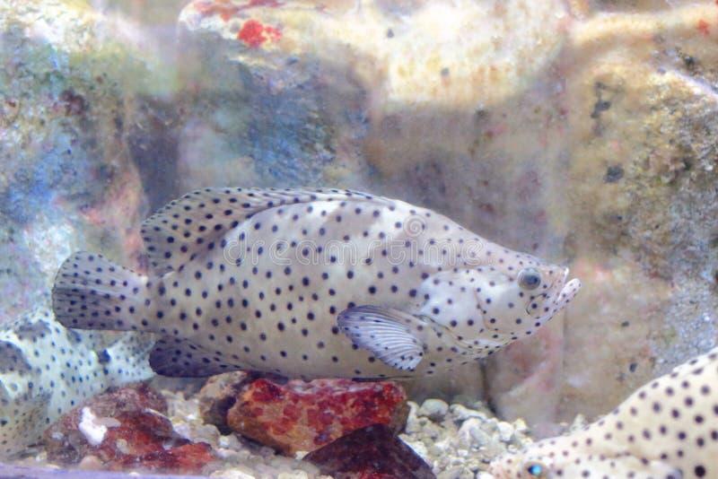 Άσπρο grouper στοκ φωτογραφίες