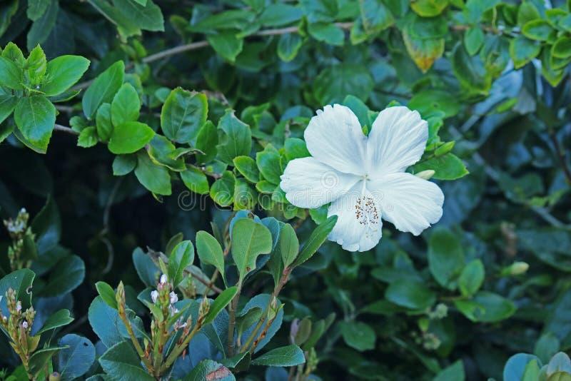 Άσπρο hibiscus λουλούδι που ανθίζει σε ένα υποτροπικό κλίμα στοκ φωτογραφίες με δικαίωμα ελεύθερης χρήσης