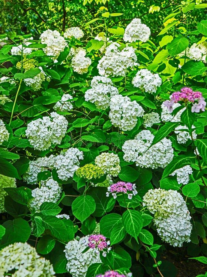 Άσπρο hydrangea που ανθίζει το καλοκαίρι στοκ εικόνες