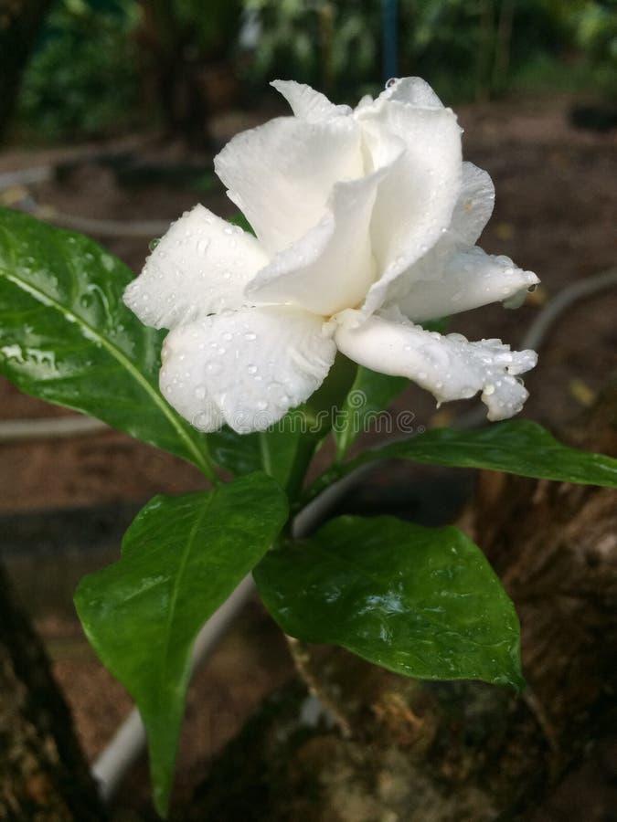 Άσπρο jasmine απορριμάτων στοκ εικόνες