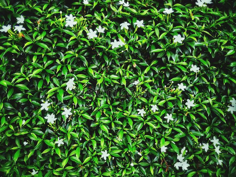 Άσπρο jasmine στοκ φωτογραφίες