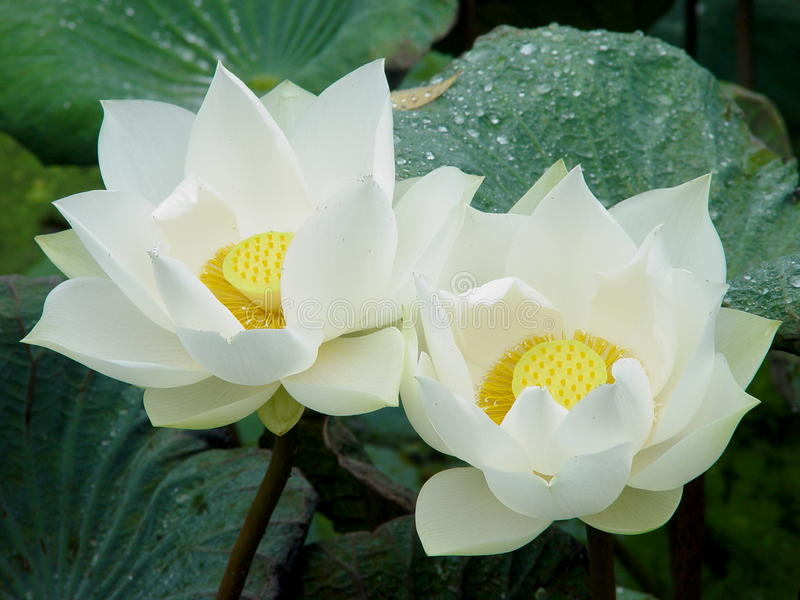 Άσπρο Lotus δύο στοκ εικόνα με δικαίωμα ελεύθερης χρήσης