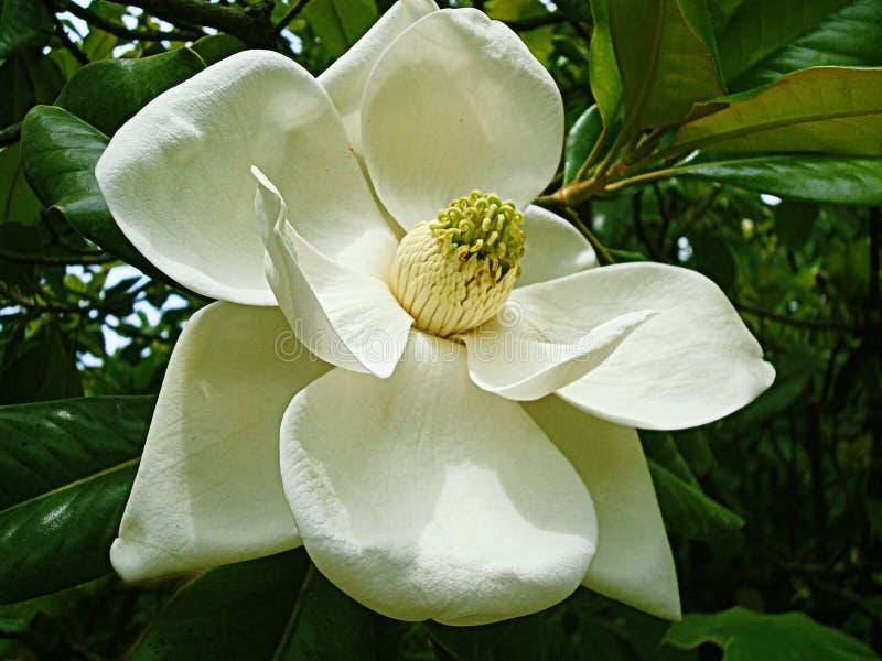 Άσπρο magnolia στοκ εικόνα με δικαίωμα ελεύθερης χρήσης