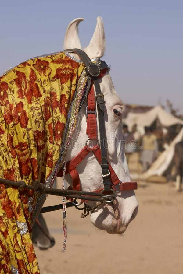 Άσπρο Marwari στο φεστιβάλ Nagaur στοκ φωτογραφία με δικαίωμα ελεύθερης χρήσης