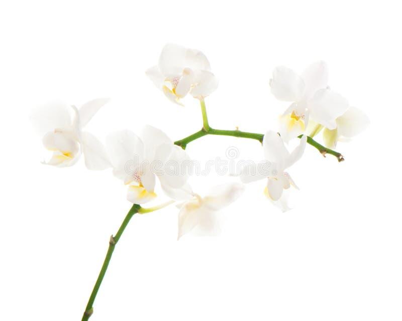 Άσπρο orchid κεντρικό τεμάχιο ρύθμισης που απομονώνεται στο λευκό στοκ εικόνα