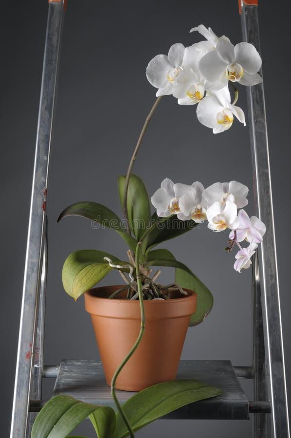 Άσπρο orchid λουλούδι σε ένα δοχείο στοκ φωτογραφίες