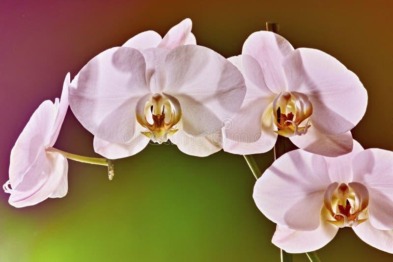 Άσπρο orchid - λουλούδι phalaenopsis στοκ εικόνες