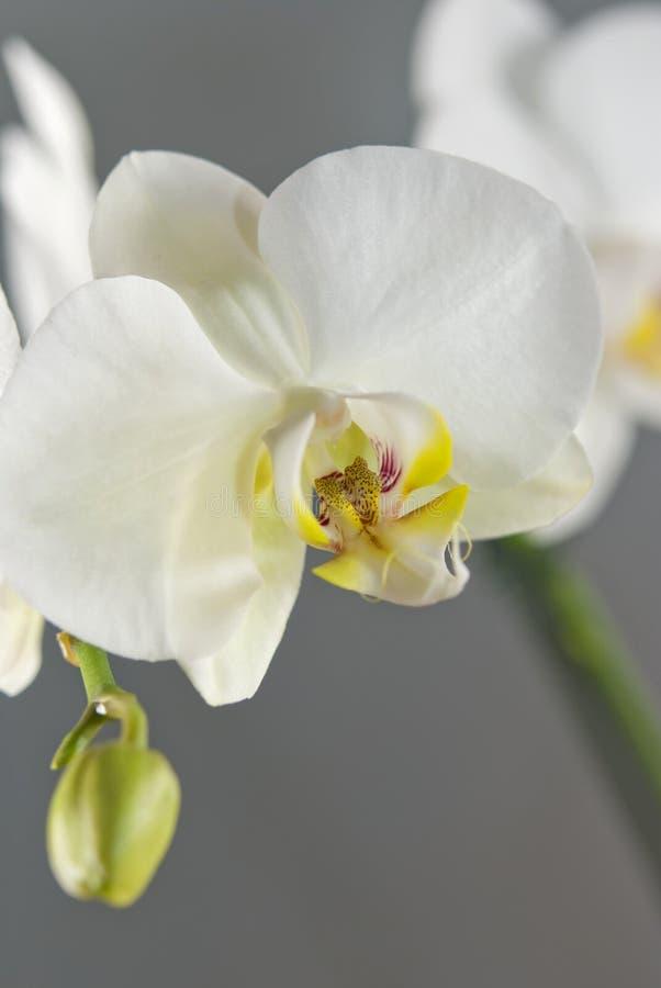 Άσπρο Orchid στοκ φωτογραφία