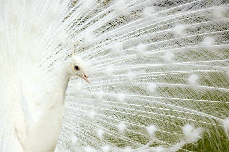 Άσπρο Peacock. στοκ φωτογραφία