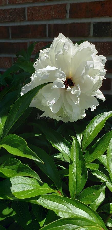 Άσπρο peony άνθος στοκ φωτογραφία