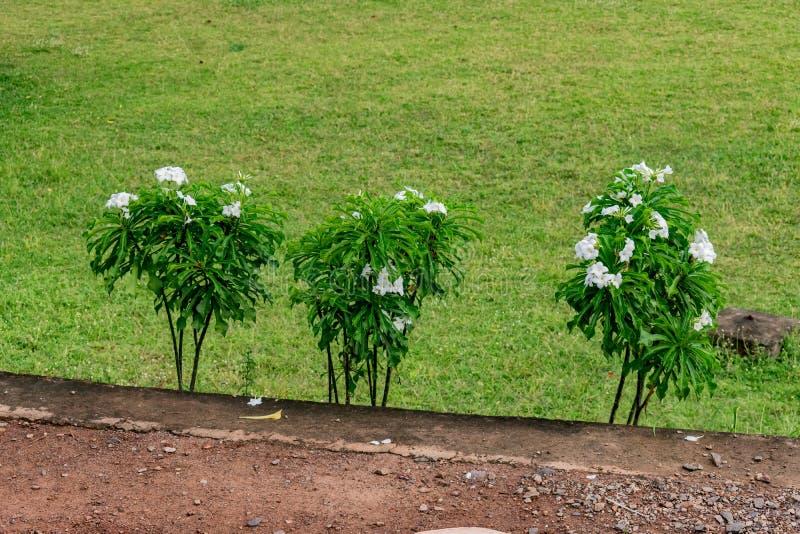 Άσπρο Plumeria ή το frangipani ανθίζει τα δέντρα σε μια σειρά τρομερό στο aindian κήπο με τη βοσκή ζώων στοκ φωτογραφία με δικαίωμα ελεύθερης χρήσης