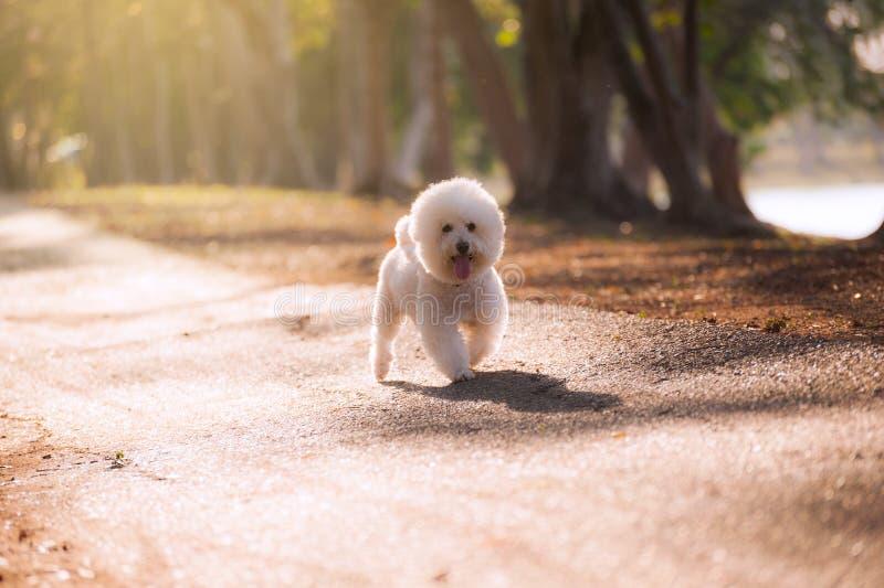 Άσπρο poodle σκυλί στοκ εικόνες