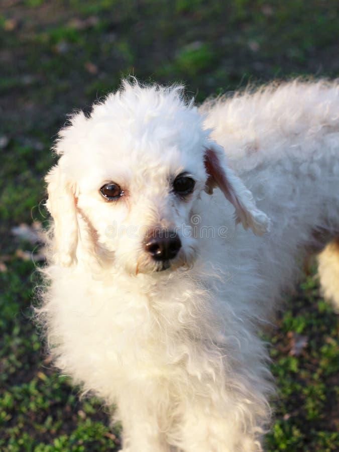 Άσπρο poodle την άνοιξη για έναν περίπατο στοκ φωτογραφίες