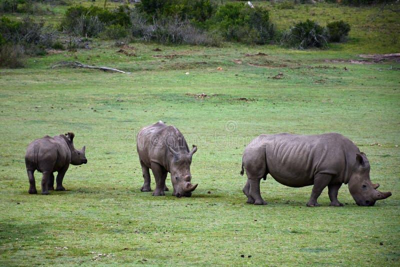 Άσπρο Rhiniceros, επιφύλαξη Botlierskop, Νότια Αφρική στοκ εικόνα