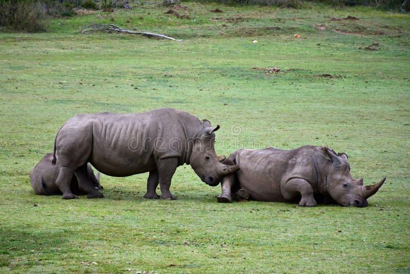 Άσπρο Rhiniceros, επιφύλαξη Botlierskop, Νότια Αφρική στοκ εικόνες