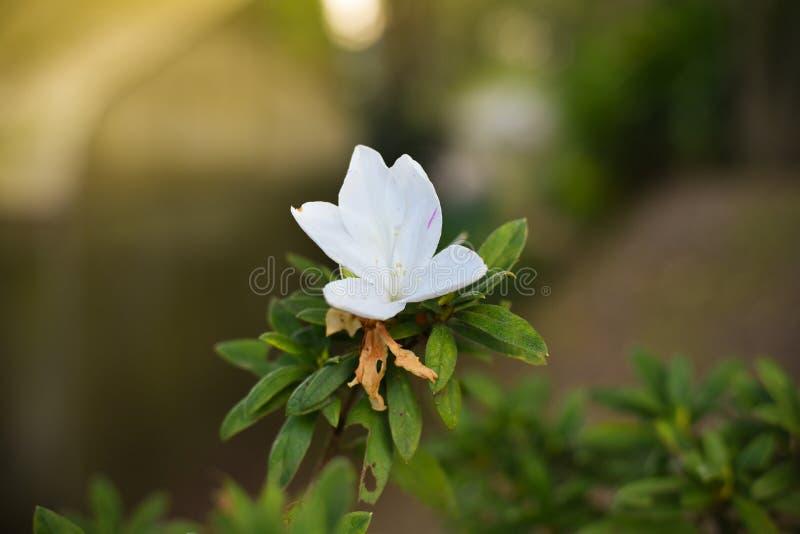 Άσπρο Rhododendron arboreum στοκ φωτογραφία με δικαίωμα ελεύθερης χρήσης