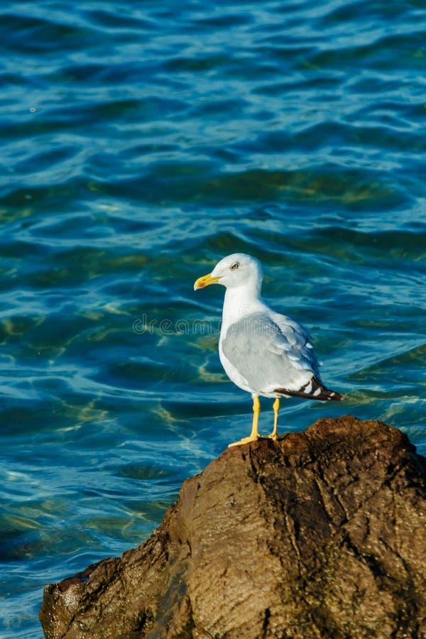 Άσπρο Seagull με τις μαύρες άκρες φτερών που κάθονται στους βράχους στη Μαύρη Θάλασσα Κορμοράνος που προσγειώνεται στον απότομο β στοκ φωτογραφία με δικαίωμα ελεύθερης χρήσης