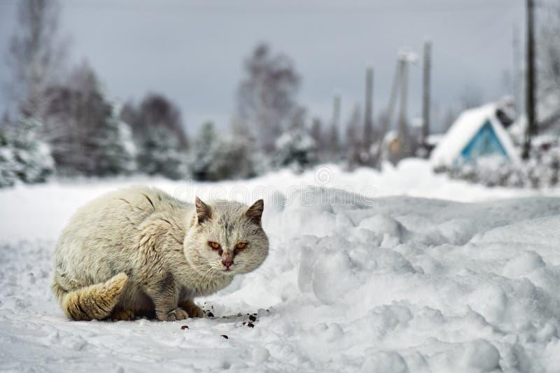 Άστεγη άσπρη συνεδρίαση γατών στο χιόνι και κατανάλωση των κομματιών των ξηρών τροφίμων γατών στο ρωσικό χωριό υπαίθρια στοκ εικόνες