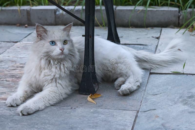 Άστεγη γάτα με τα διαφορετικά χρωματισμένα μάτια στοκ εικόνα με δικαίωμα ελεύθερης χρήσης