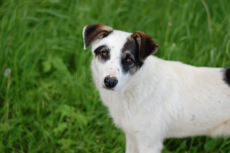 Άστεγο άσπρο κουτάβι με τα μαύρα αυτιά, σε ένα κλίμα στοκ φωτογραφία