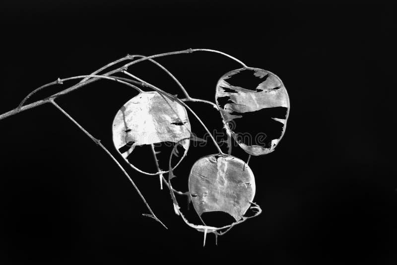 Άσχημα άσπρα βράγχια λουλουδιών σε ένα μαύρο υπόβαθρο που αυξάνεται στον κήπο στοκ εικόνα
