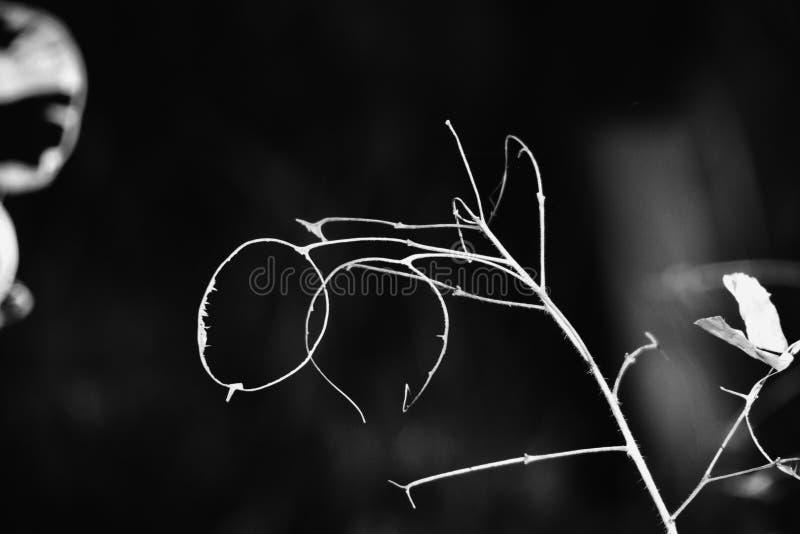 Άσχημα άσπρα βράγχια λουλουδιών σε ένα μαύρο υπόβαθρο που αυξάνεται στον κήπο στοκ φωτογραφίες