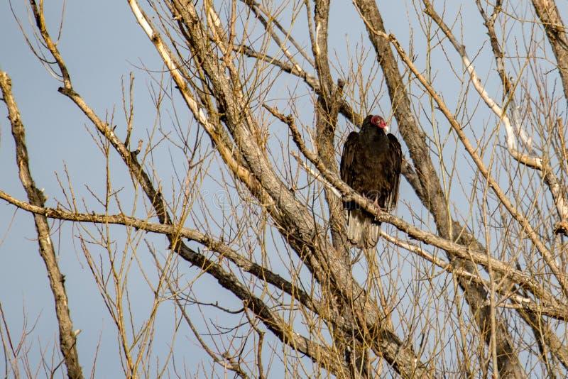 Άσχημος γύπας της Τουρκίας που σκαρφαλώνει σε ένα νεκρό δέντρο στοκ φωτογραφίες με δικαίωμα ελεύθερης χρήσης