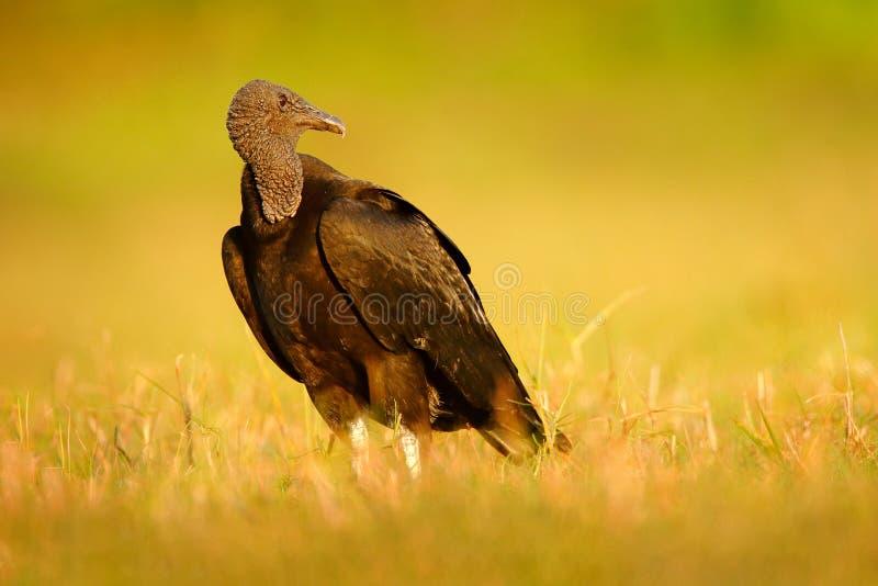 Άσχημος μαύρος μαύρος γύπας πουλιών, atratus Coragyps, που κάθεται στην πράσινη χλόη, Pantanal, Βραζιλία στοκ φωτογραφία με δικαίωμα ελεύθερης χρήσης