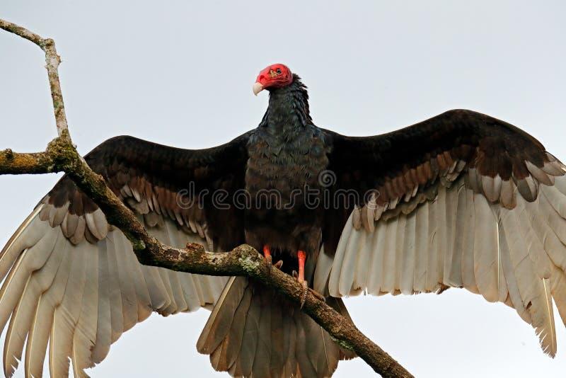 Άσχημος μαύρος γύπας της Τουρκίας πουλιών, αύρα Cathartes, που κάθεται στο δέντρο, Κόστα Ρίκα Πουλί με το ανοικτό φτερό στοκ εικόνα με δικαίωμα ελεύθερης χρήσης