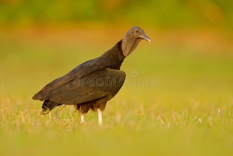 Άσχημος μαύρος μαύρος γύπας πουλιών, atratus Coragyps, που κάθεται στην πράσινη χλόη, Pantanal, Βραζιλία στοκ φωτογραφία