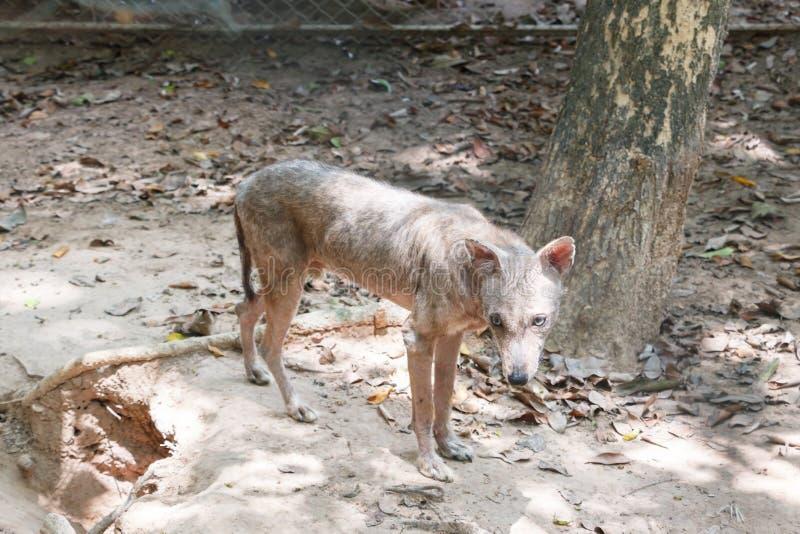 Άσχημος λύκος στο κλουβί στοκ φωτογραφία