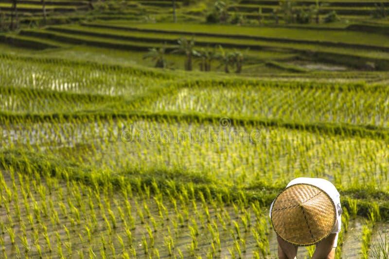 Άτομο με την παραδοσιακή από το Μπαλί ΚΑΠ στους τομείς ρυζιού Jatiluwih στο νοτιοανατολικό Μπαλί στοκ εικόνες