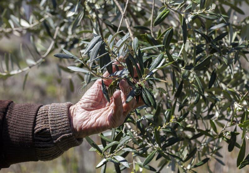 Άτομο που επιθεωρεί τα φύλλα ελιών στοκ εικόνες με δικαίωμα ελεύθερης χρήσης