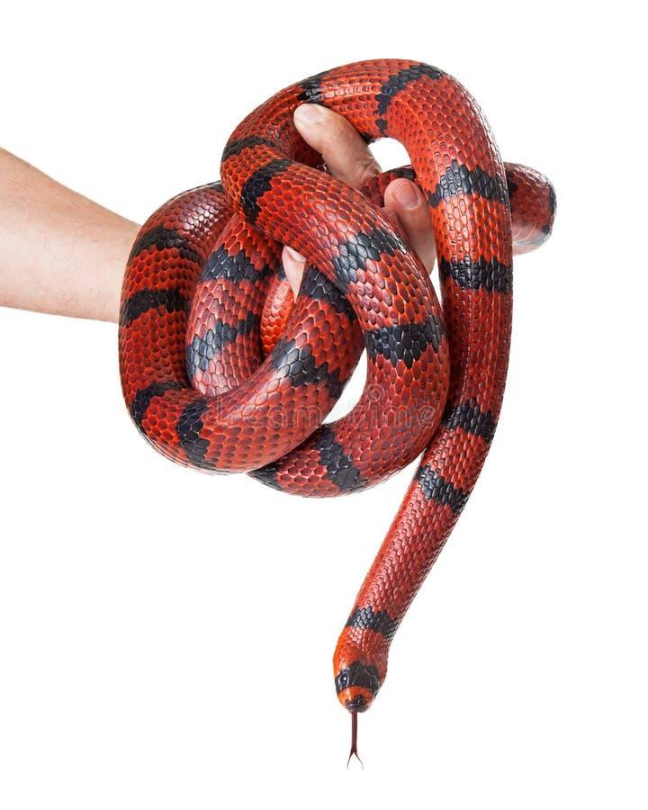 Άτομο που κρατά ένα κόκκινο φίδι γάλακτος στοκ φωτογραφίες με δικαίωμα ελεύθερης χρήσης