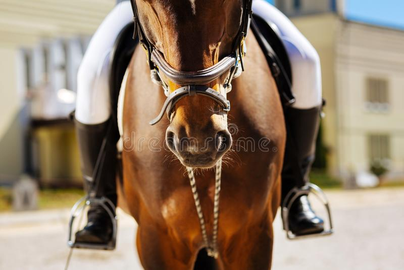 Άτομο που φορά το άσπρο παντελόνι και τις μαύρες οδηγώντας μπότες που κάθονται στο άλογο στοκ φωτογραφίες με δικαίωμα ελεύθερης χρήσης