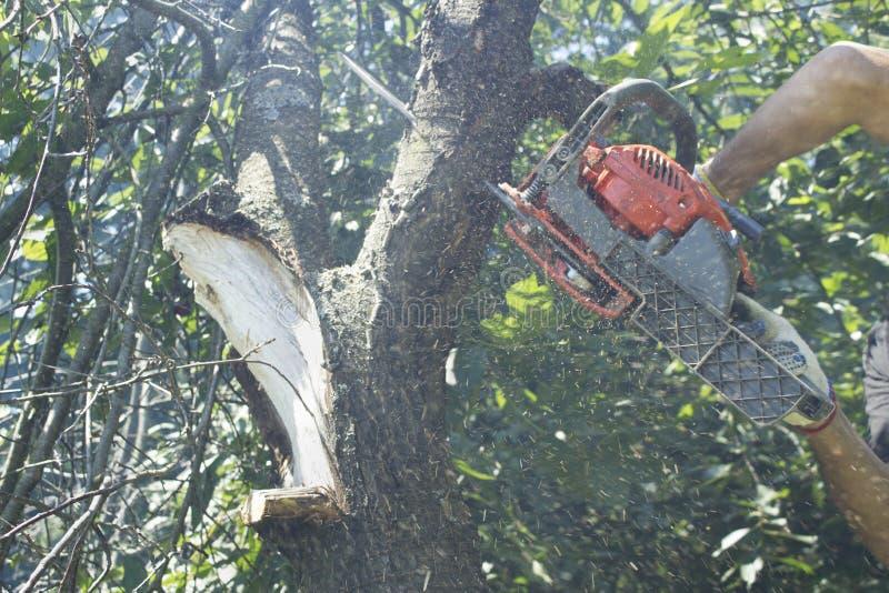 Άτομο στα γάντια που κόβει το δέντρο με ένα αλυσιδοπρίονο σε έναν κήπο στοκ εικόνα