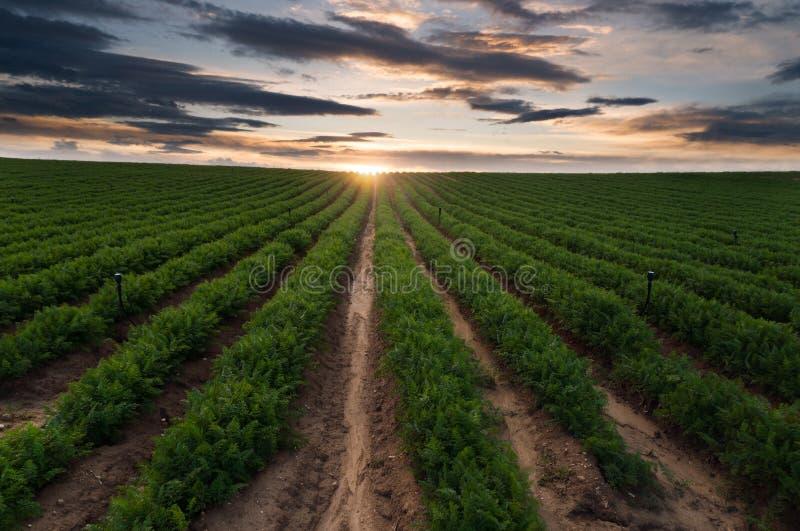 Άφθονη συγκομιδή γεωργίας, σύστημα άρδευσης, καλλιεργημένο furrows τοπίο τομέων στοκ φωτογραφίες