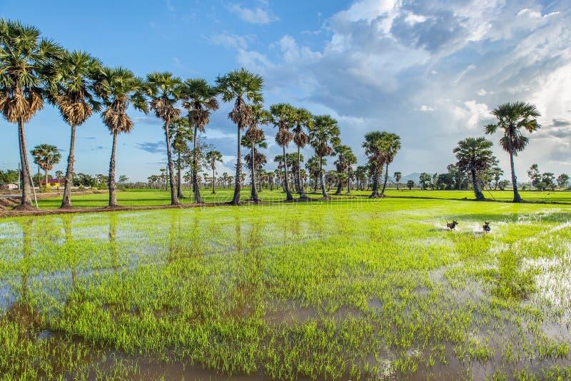 Άφθονος πράσινος τομέας ρυζιού στοκ φωτογραφία με δικαίωμα ελεύθερης χρήσης